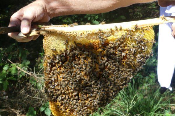 Herbert mit Bienenwabe an Lättchen